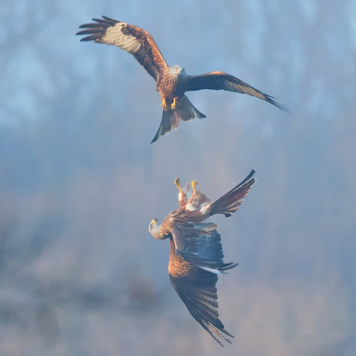 Lots of Red Kites