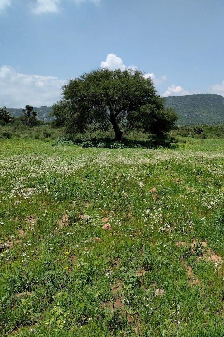 Mezquite del valle en época de lluvias
