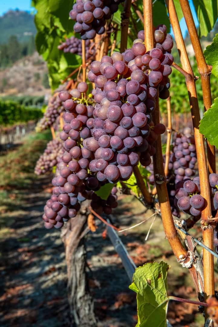 Grapes ripening in the Okanagan sun