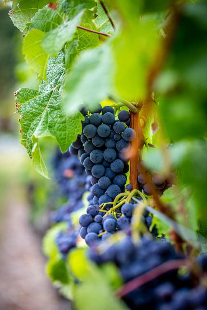 Pinot Noir grapes ripening