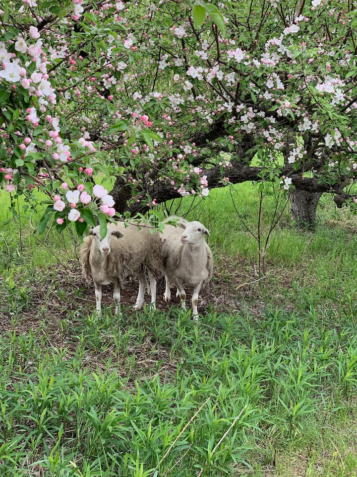 Sheep graze in the apple trees