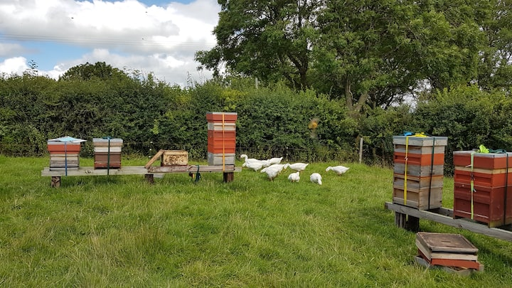 Geese grazing in around the hives