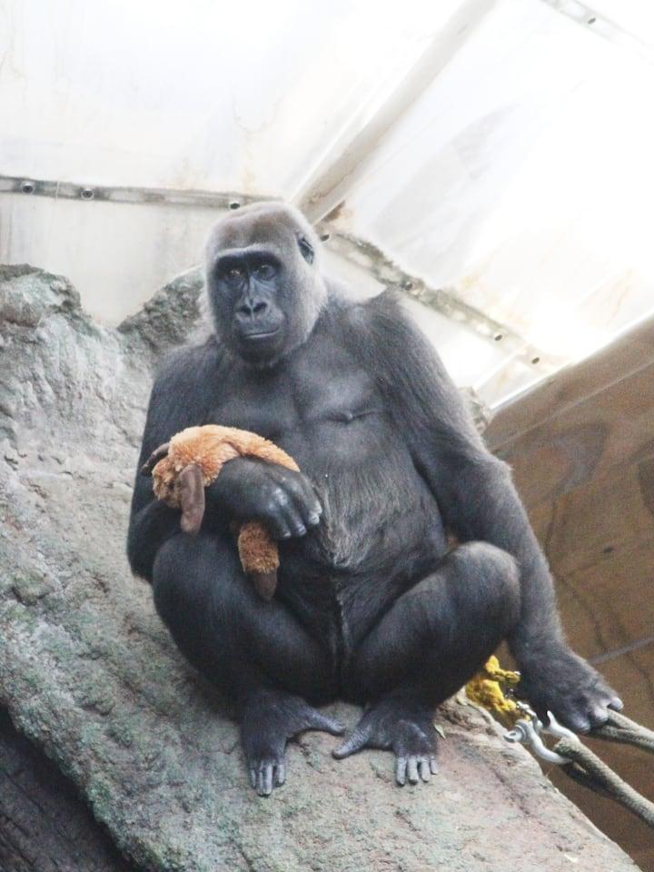 Johari, a female gorilla, with her doll