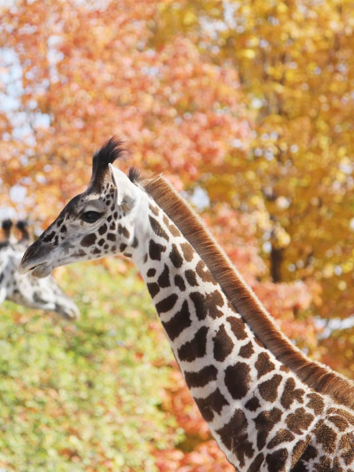 Get a close view of the baby giraffe!