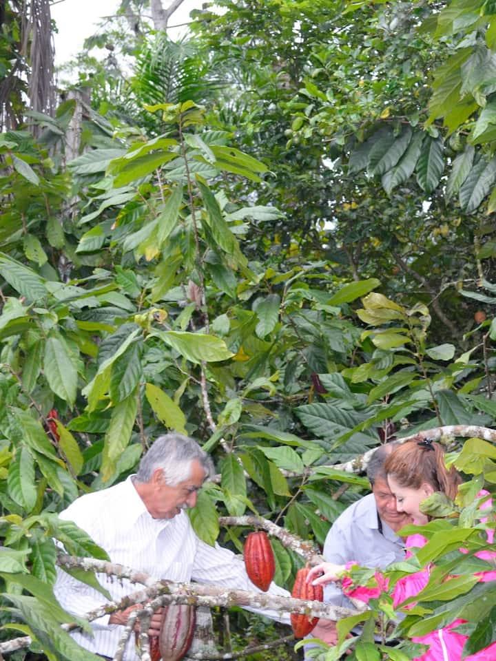 Plantación de Cacao