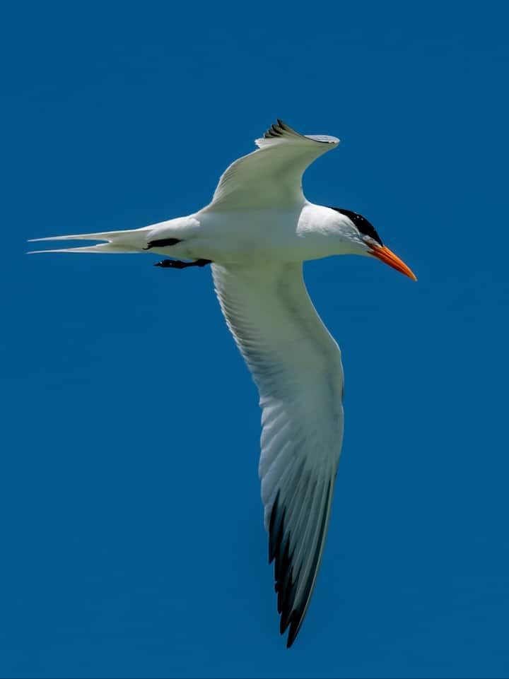 Royal Terns nest on Shell Key