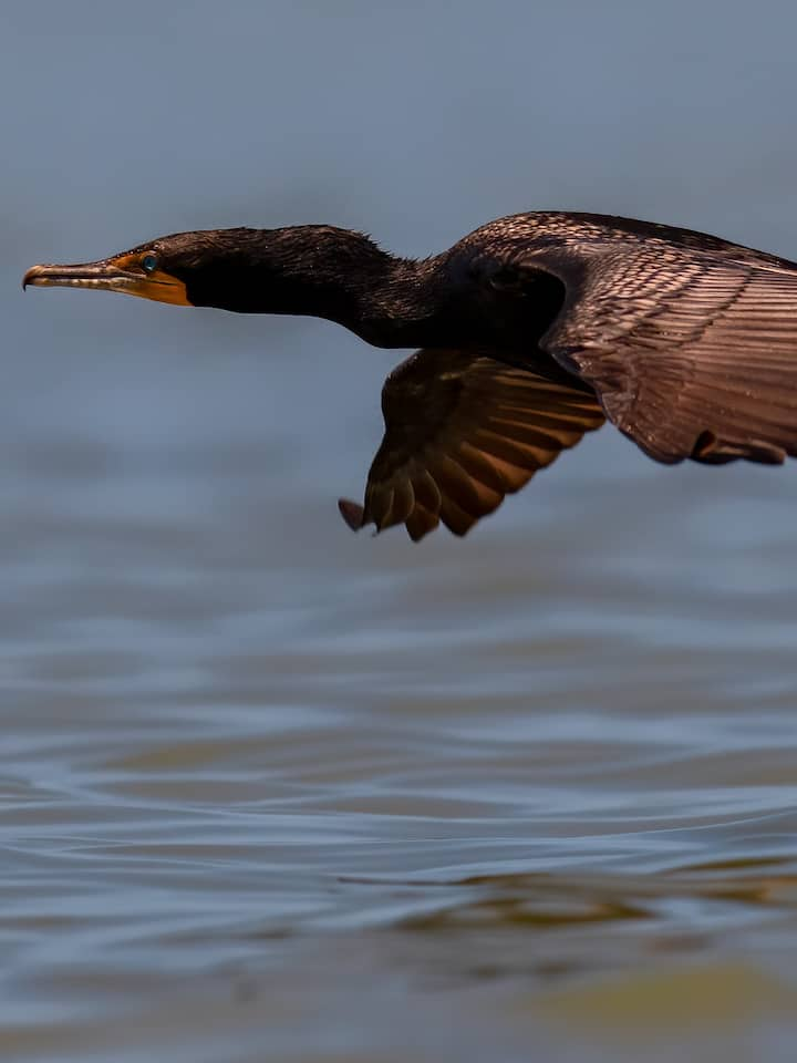 Cormorants will be frequent visitors!