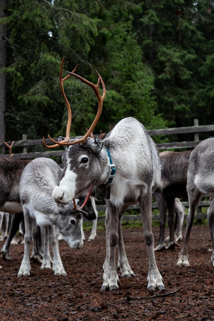 at the reindeer gathering