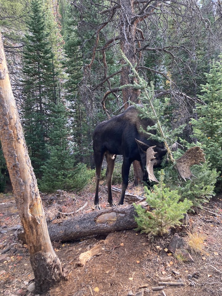 Mr. Moose a bit closer than expected!