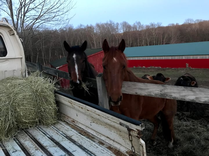 Tinto and Sassy getting their hay