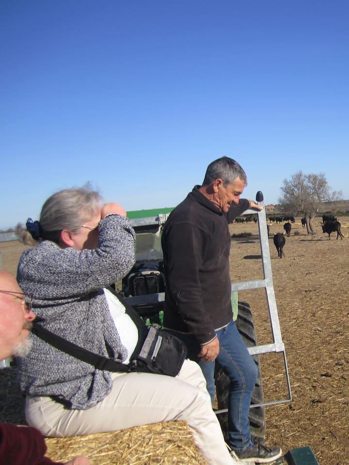 En pleine observation des taureaux.