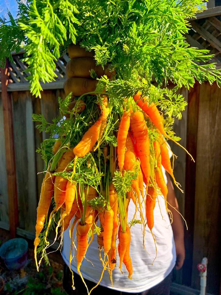 Carrot Harvest Spring 2021