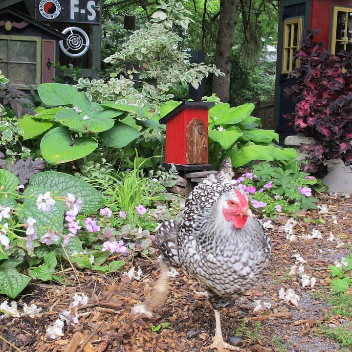 Spock, our  friendly hen.