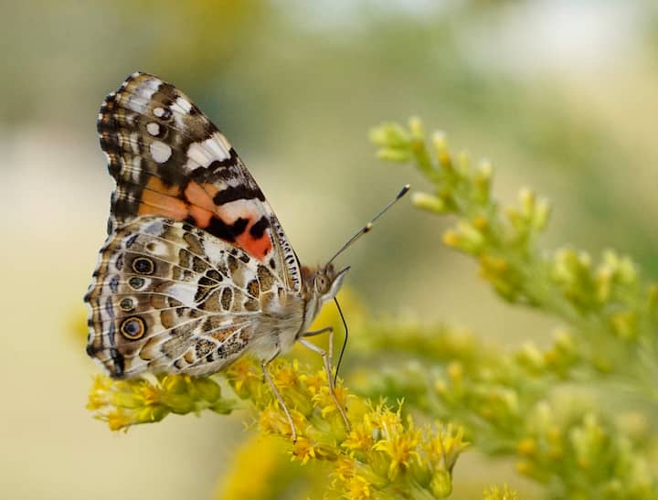 A Painted Lady Butterfly in our Prairie!