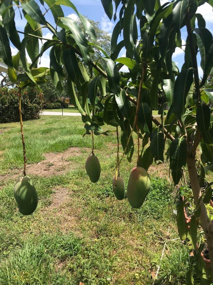 Our mangos