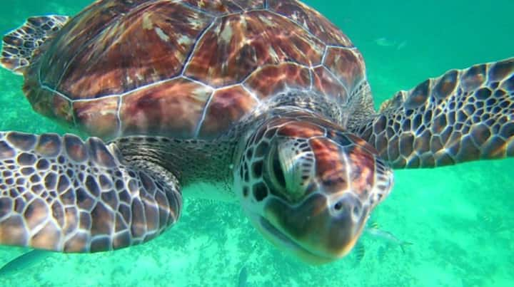 The turtle, sacred animal for the Mayans
