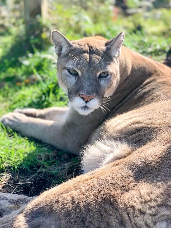 Noni Cougar