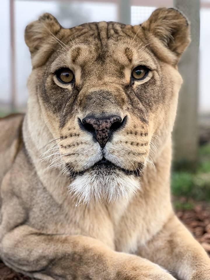 Chobe Lioness