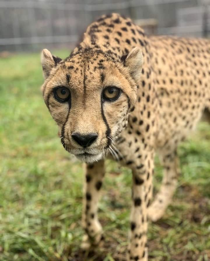Addison Cheetah