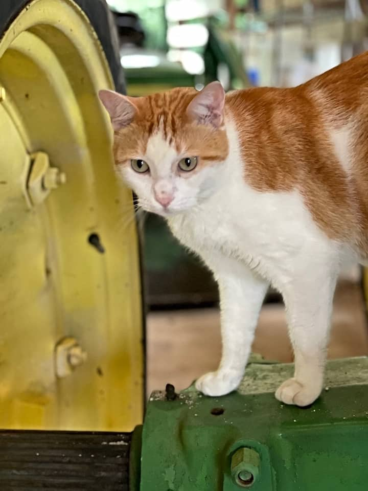 Tomo a resident barn cat