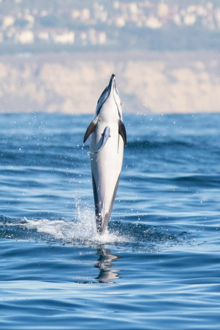 Common dolphin with a remora attached