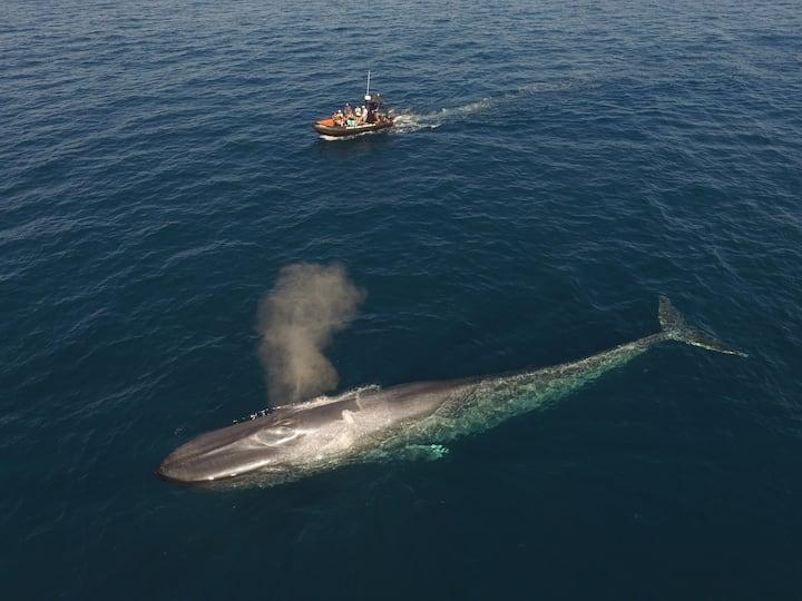 Blue whale season is April-July