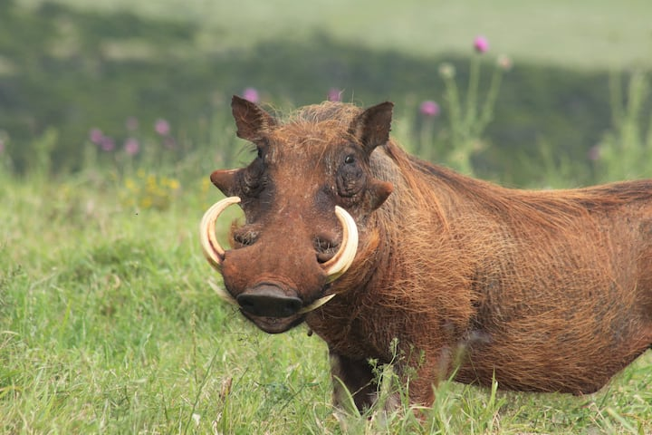 Male Warthog looking at you.