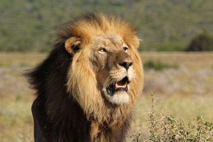 Huge Black maned Lion