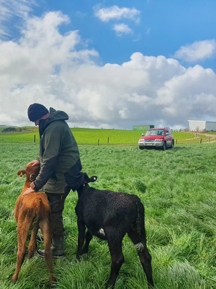 Checking on the young cows