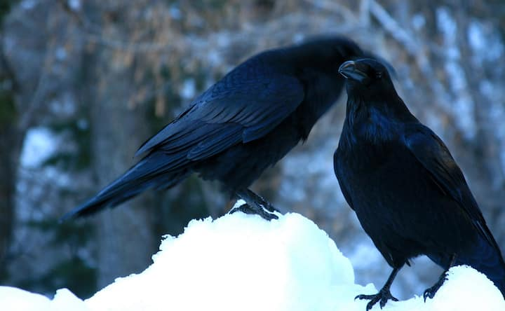 Ravens whisper of creativity