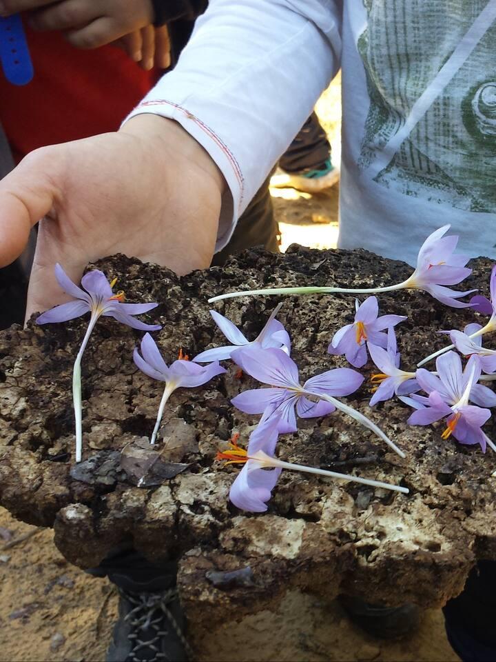 i fiori di zafferano selvatico