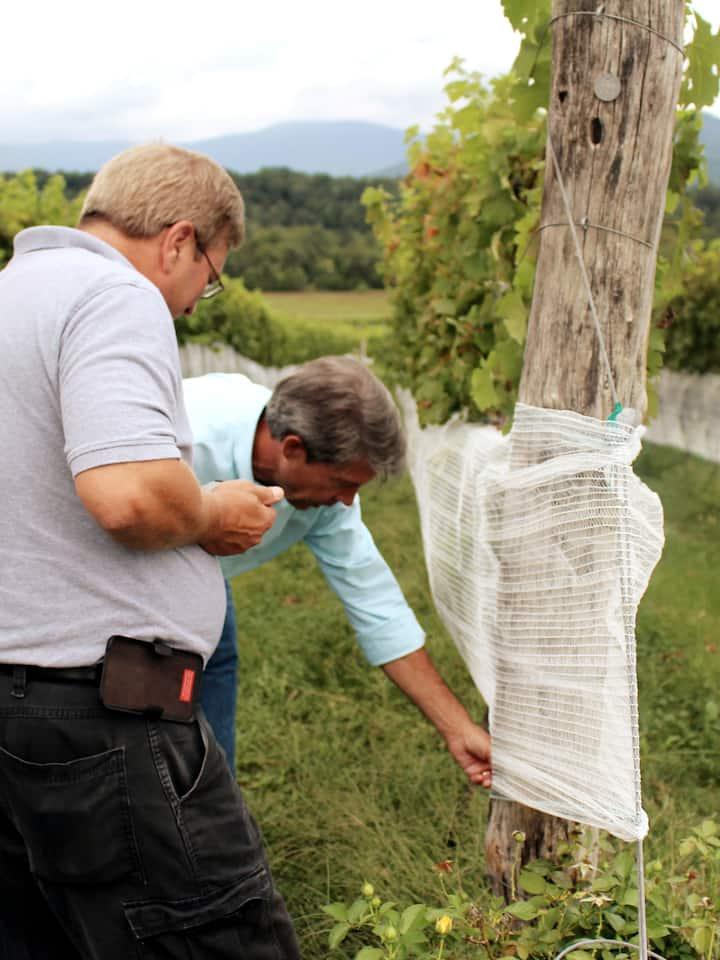 Explaining how grapes grow