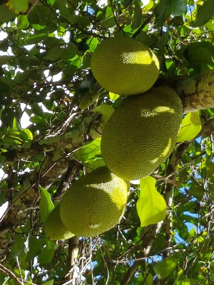 Jackfruit in Season
