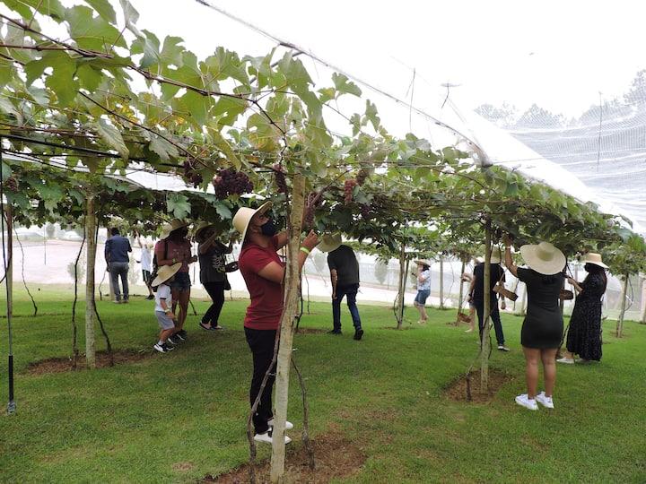 Cultivação de uvas