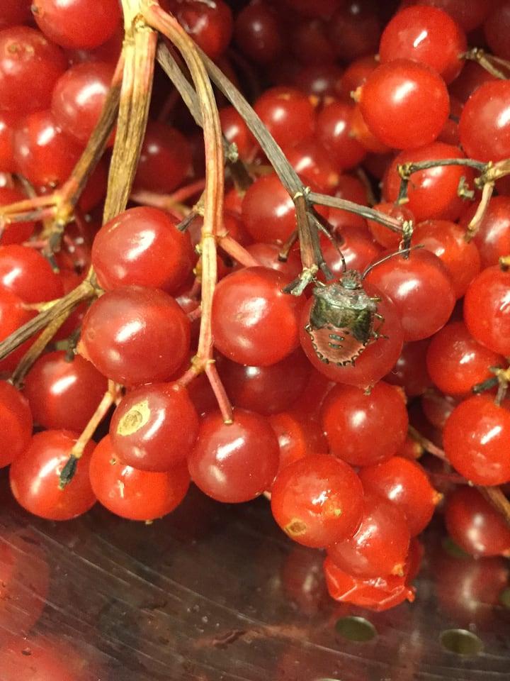 Guelder Rose Berries & Bug