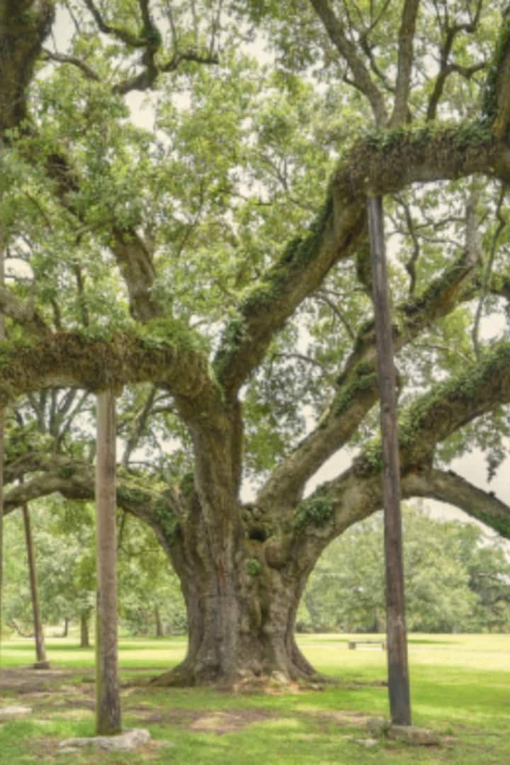 800 Year Old  Grand Oak / City Park