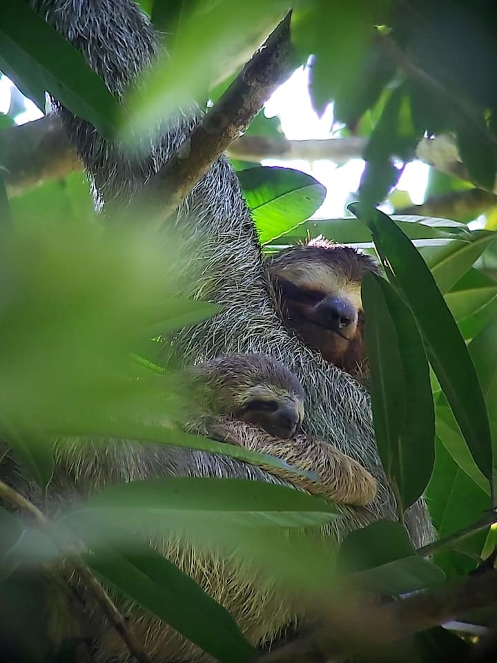 Mom and baby Sloths.
