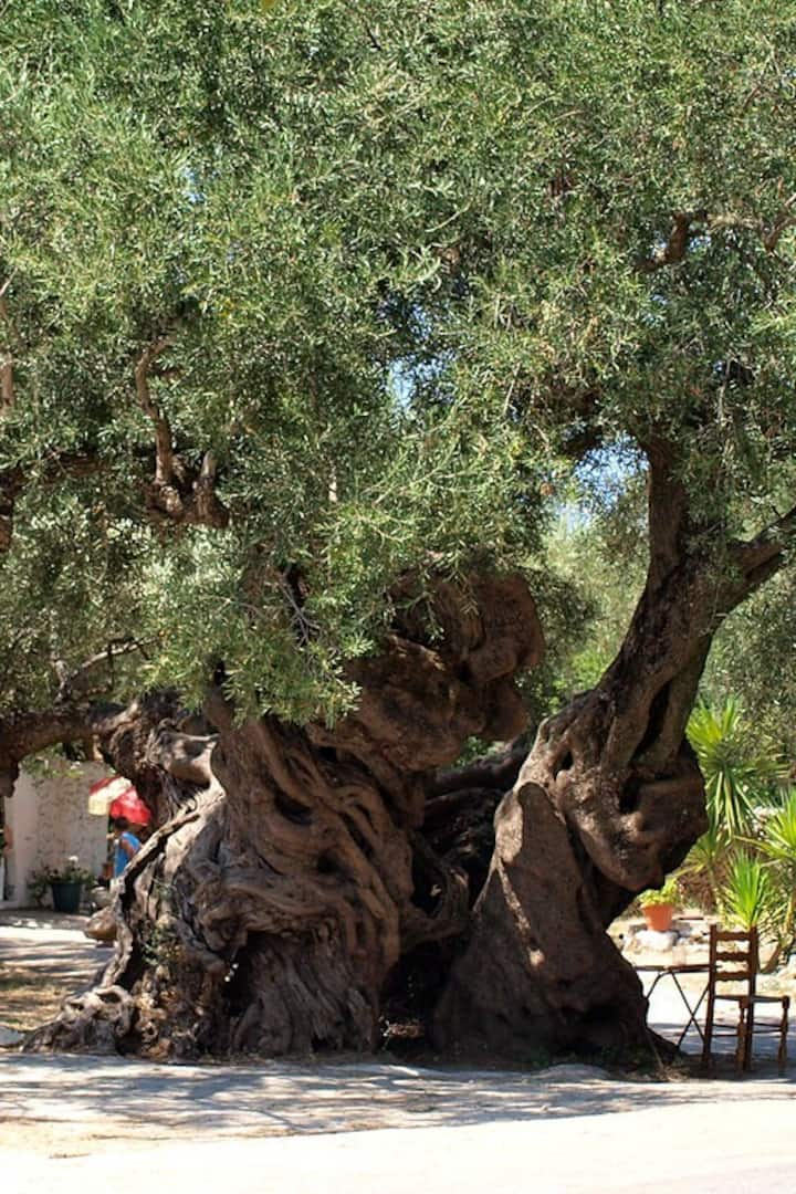 2000 yrs old olive tree