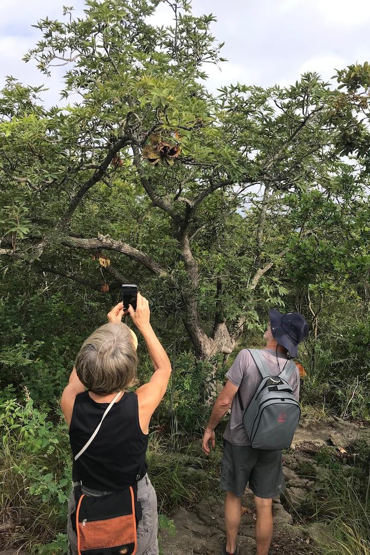 The Lowveld Chestnut tree.