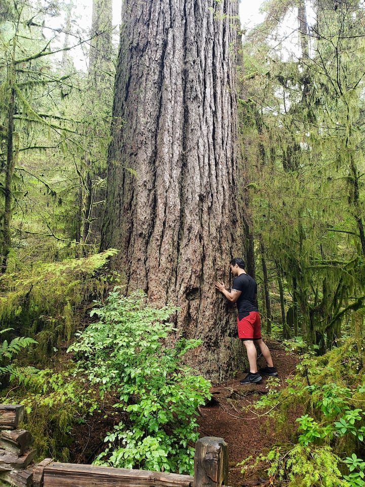 Enormous and ancient old growth forest!