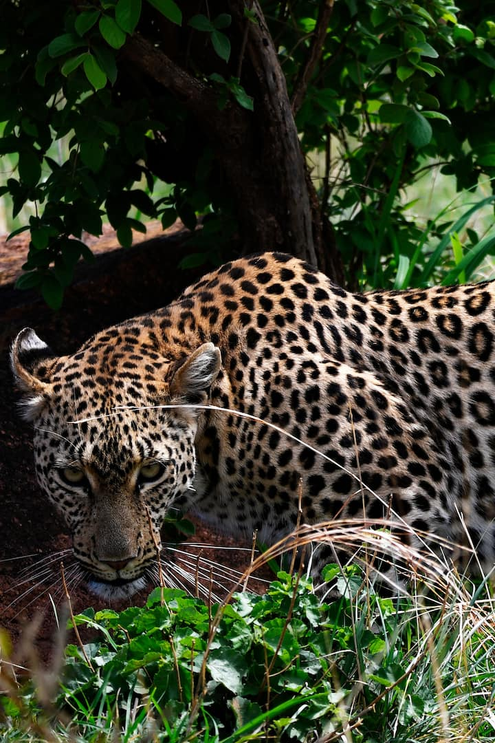 Leopard ready to hunt