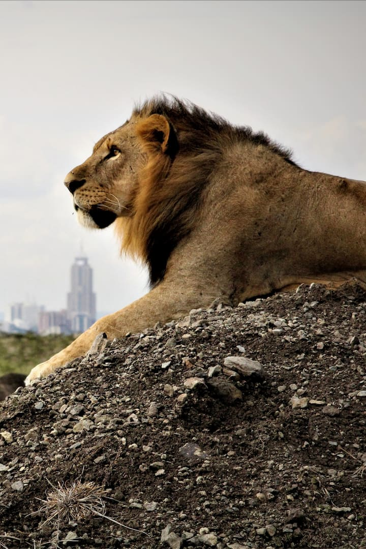 Male Lion with Nairobi City