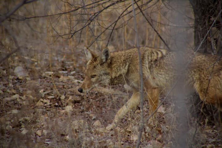 A coyote swiftly moves through the brush