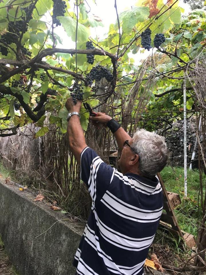 O apanhar das uvas na nossa propriedade