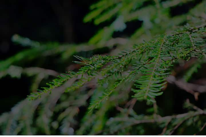 Needles of the hemlock tree