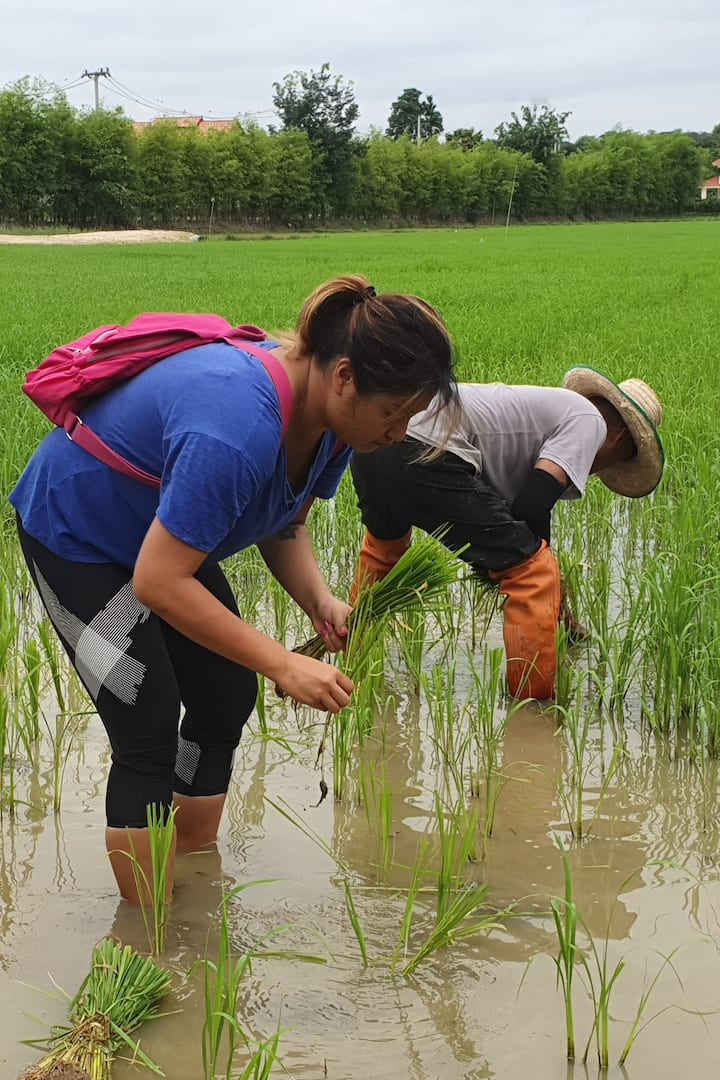 Joining the Rice farming with a farmer