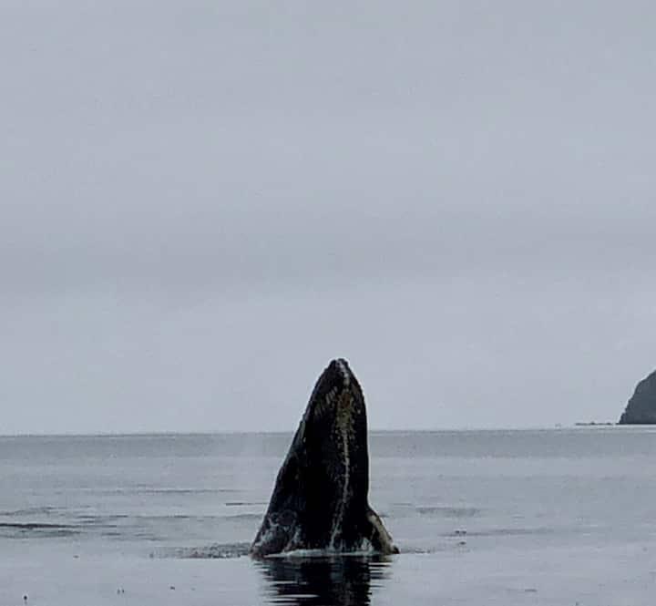 Humpback whale partial breach