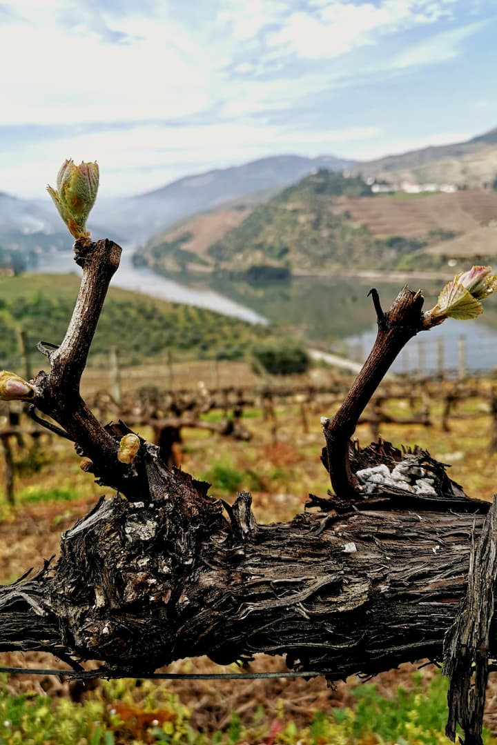 The first leaves in an old vineyard.