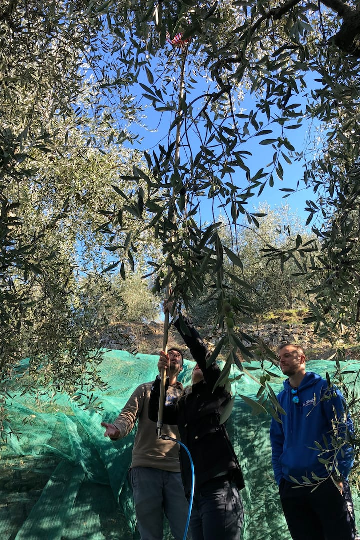 The olive harvest is done manually