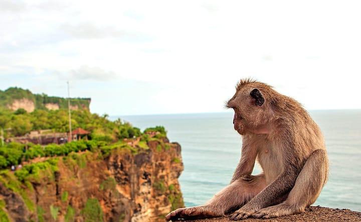 Uluwatu monkey